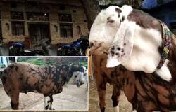 यह बकरा हिंदुस्तान के चुनिंदा बकरों में से एक है।