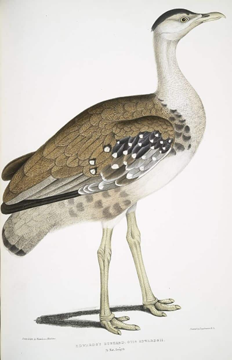 The Great Indian Bustard is one of the world's heaviest flying birds. It is one of the rarest birds of the Indian subcontinent. This bird is found only in some parts of Maharashtra, Gujarat and Rajasthan.