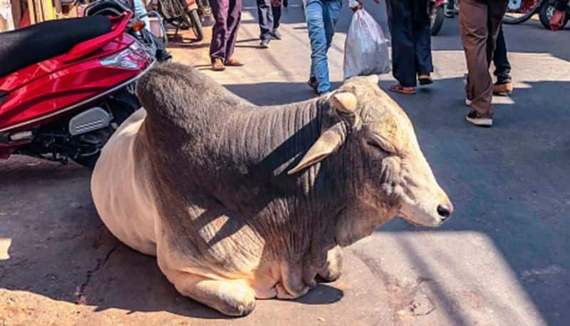stray bull swallows 40 gram gold ornaments, Haryana family is waiting for it to poop