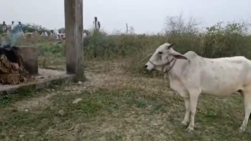 Emotional story related to a cow and its owner
