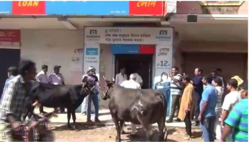 Gold loan appeal made at an office in Garia against a pair of cows