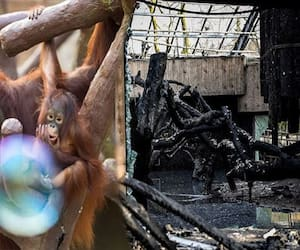 Chimpanzees, gorillas and orangutans killed in fire at Krefeld Zoo in Germany