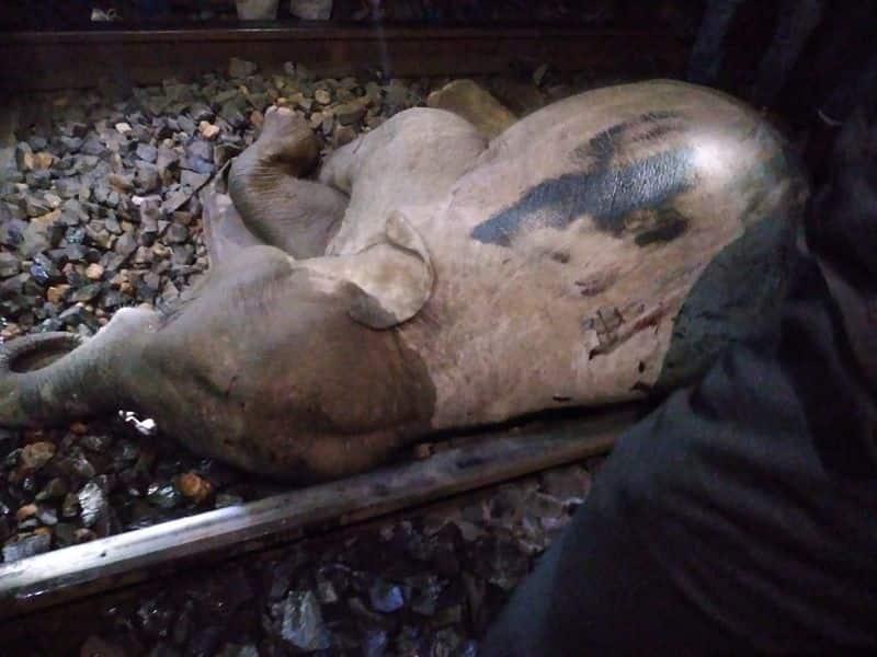 Elephant cub killed by a speedy train