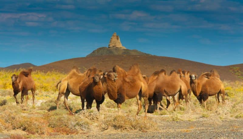 Australia to kill up to 10,000 camels amid wildfires