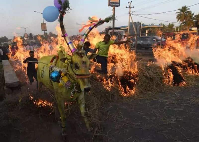 cattle forced to run through fire in Karnataka; BJP govt. silence