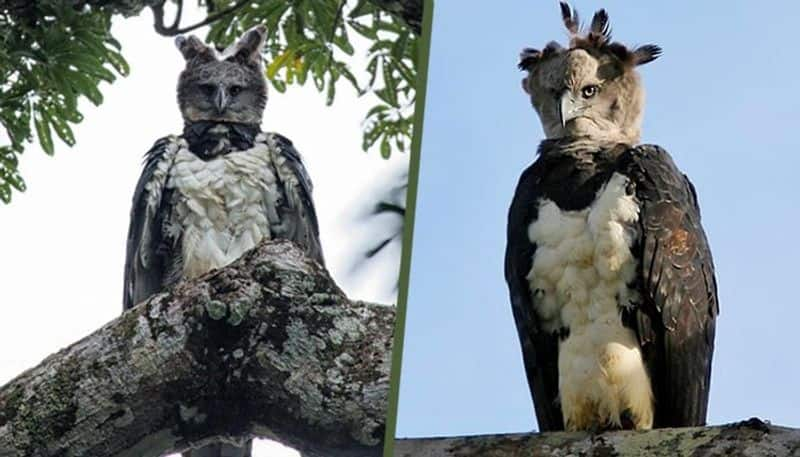 Harpy Eagle know about the unknown facts about this giant birds