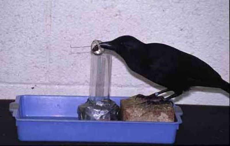 Crows were selling meat in the name of chicken, arrested