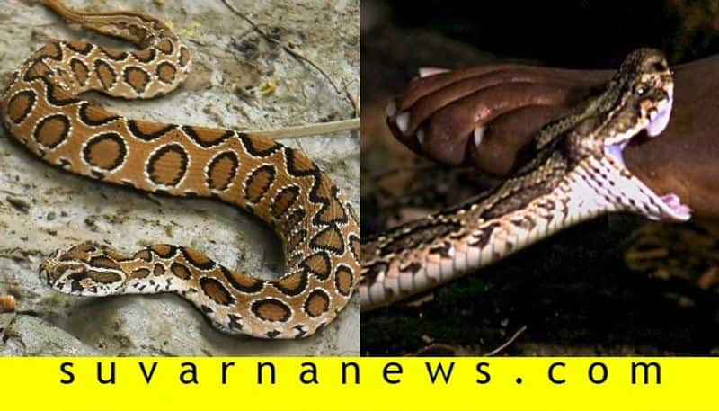 pregnant woman died in madikeri after Russells viper bites her