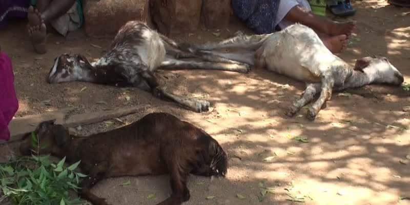 17 goats died in madurai