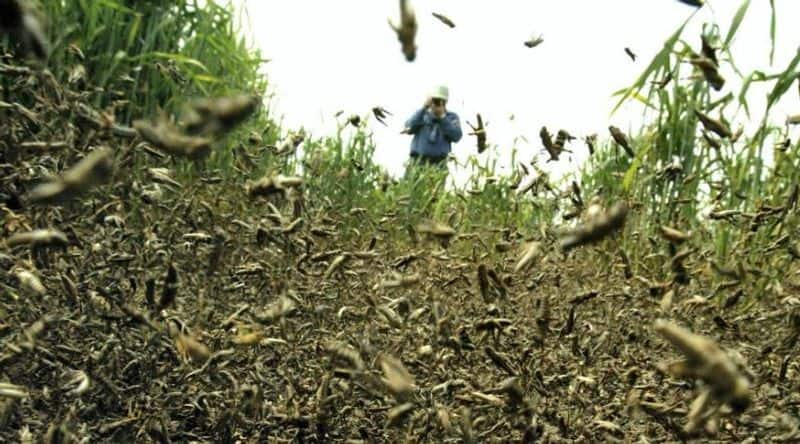 china plan to send duck force against grasshopper for protect crop's