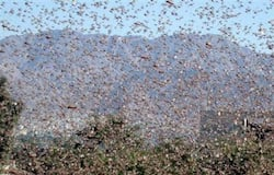 Locusts Affected Agriculture