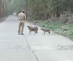 Jackals have become friends with locals in Hind Motor