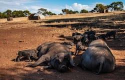 क्यों इतनी बड़ी संख्या में सूअरों को जलाया गया?  जब हमने और वेबसाइट को देखा तो पता चला कि चीन में पिछले साल सूअरों को जिंदा जलाया और दफनाया गया था, क्यों कि चीन में 2018 में अफ्रीकन स्वाइन फ्लू फैला था।