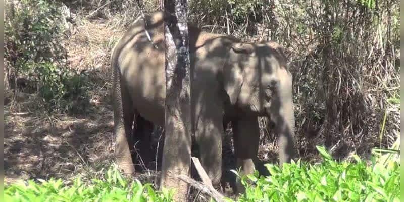 elephant roam near its dead calf for 6th day