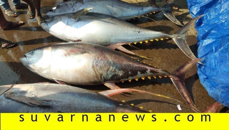 Yellowfin tuna fish caught in fishing net in Karwar