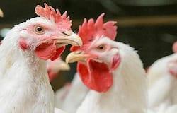 करीब-करीब हर देश में लोग पॉल्ट्री प्रोडक्ट्स से परहेज कर रहे हैं। ऐसे में, मुर्गों की मांग में भारी कमी आ गई है।