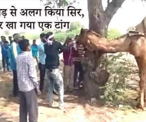 Camel was irritated by day and night work, chewed the owner's head MJA