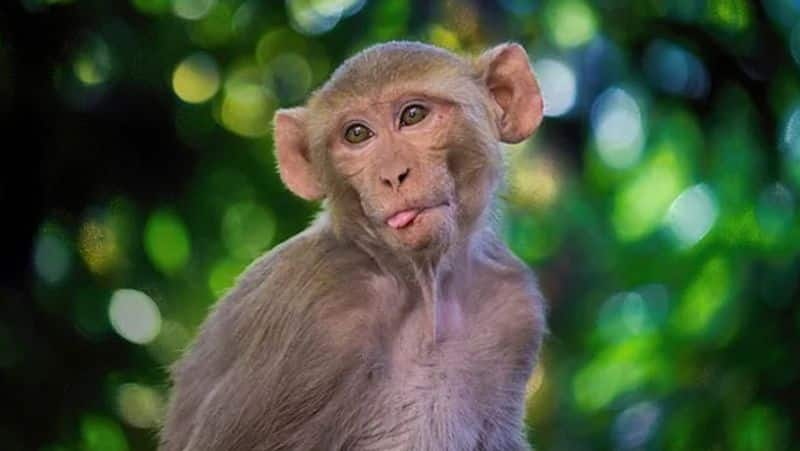 Villagers Scared for Monkey Attack in Koppal grg