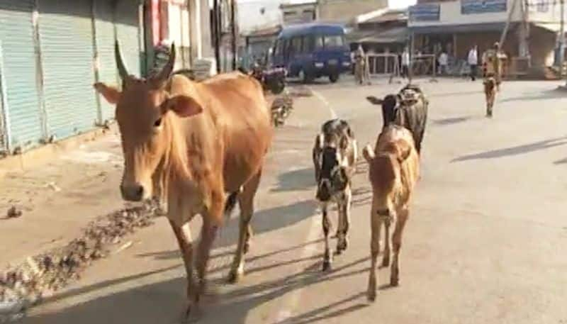 Baghel government will buy cow dung, try to woo Hindus or will be good for cattle