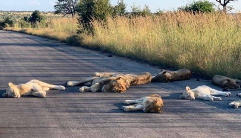 Lions nap on road during lockdown season