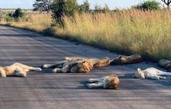 <p>lions</p>