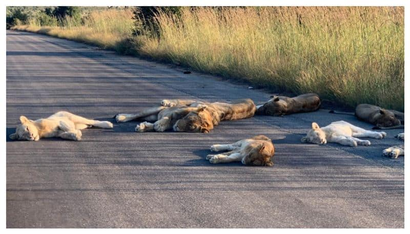 Lions are enjoying the South Africa lockdown so much they are taking naps in the middle of road