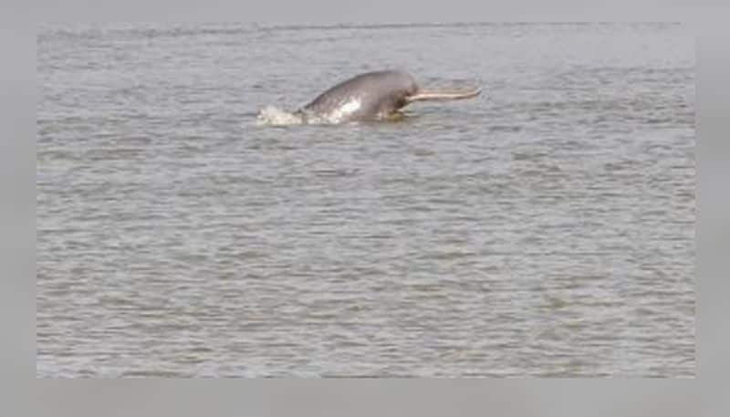 Dolphin seen in Hoogly River