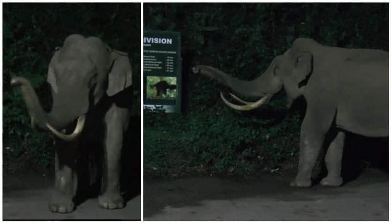 wild elephant Padayappa enjoys human free streets and road in Munnar
