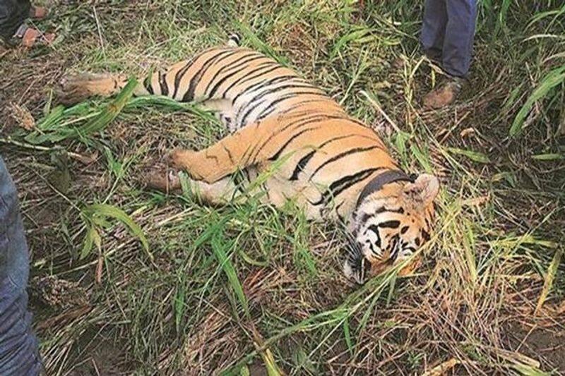 Tiger Found Dead in Forest at Kodagu grg