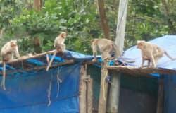 <p>Monkeys attack</p>