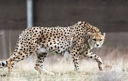 <p>Leopard</p>