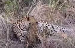 """<h1 id=""""title"""">leopard</h1>"""