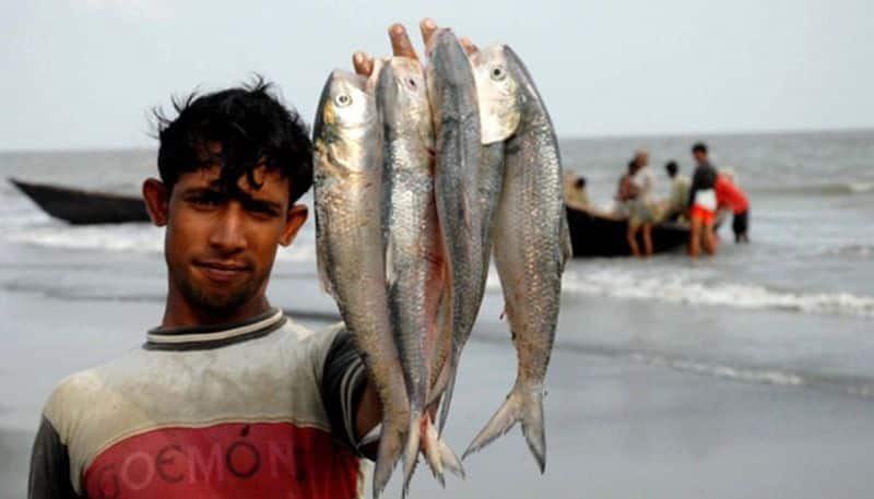 As fishing is stopped there is a possibility of getting more Hilsa in the rainy season