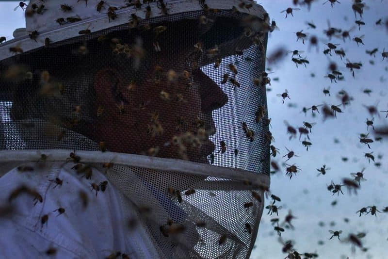 after the locust swarm, it is Murder Hornets killing bees in America loss of agriculture worth millions