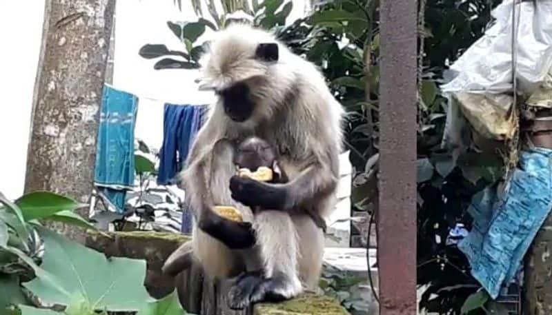 Monkeys tries to find food from household in lockdown