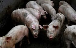 <p>African swine flu in Assam, African swine flu, swine deaths in Assam, 14000 pigs killed, corona epidemic, corona infection, corona death, corona figures</p>