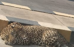 <p>Cheetah in Hyderabad</p>