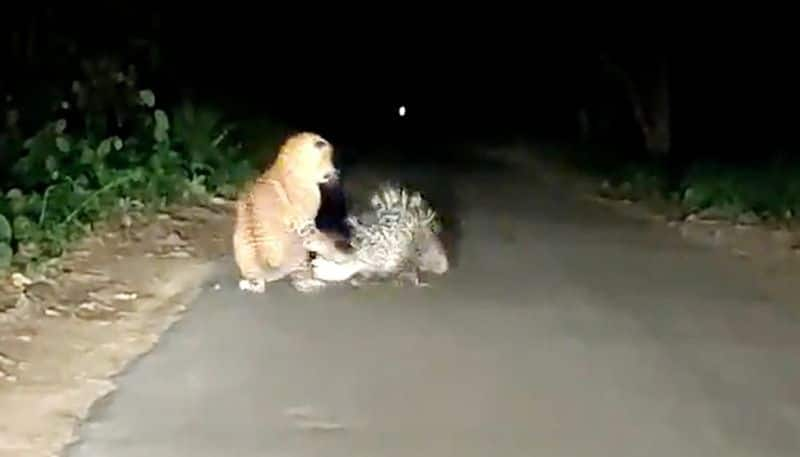 on road leopard vs porcupine fight video is viral