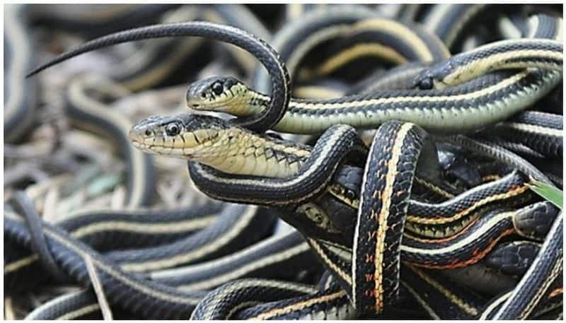 Snakes can socially interact