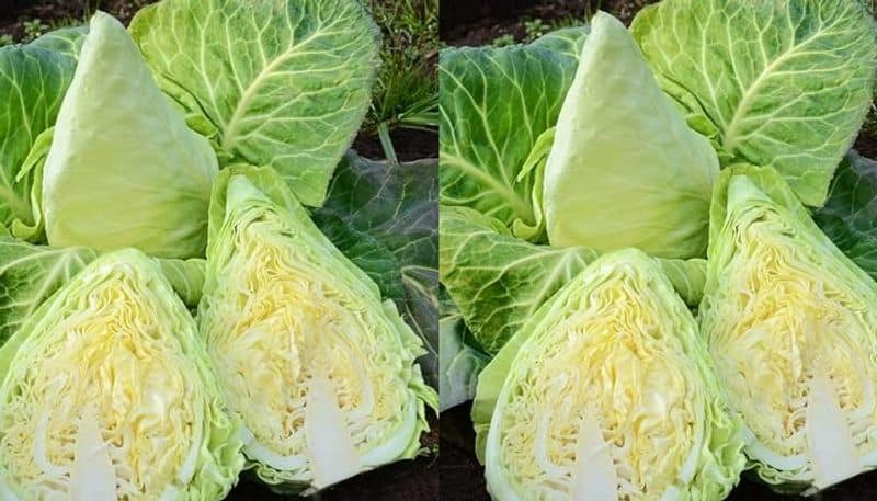 about murdoc cabbage and how to grow