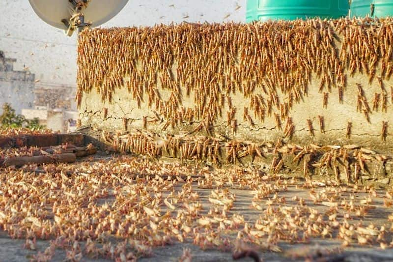 Locusts attack crops in several Indian states will come to West Bengal