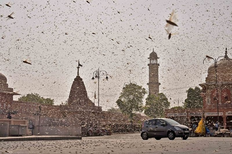 In a first drone used to clear locust swarms in Rajasthan