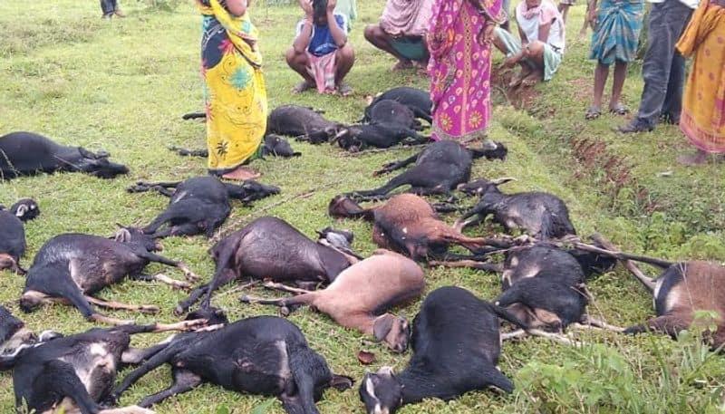 Lightning took life of 23 goats in Jhargram