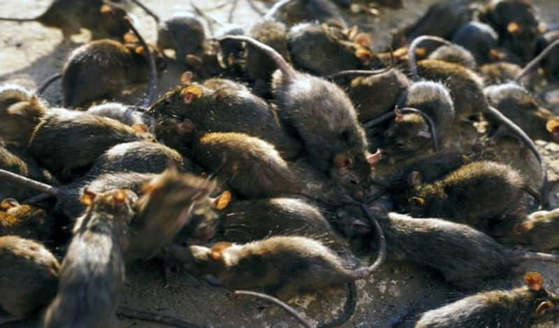 China Sounds Alert For Another Pandemic: Bubonic Plague warning Issued