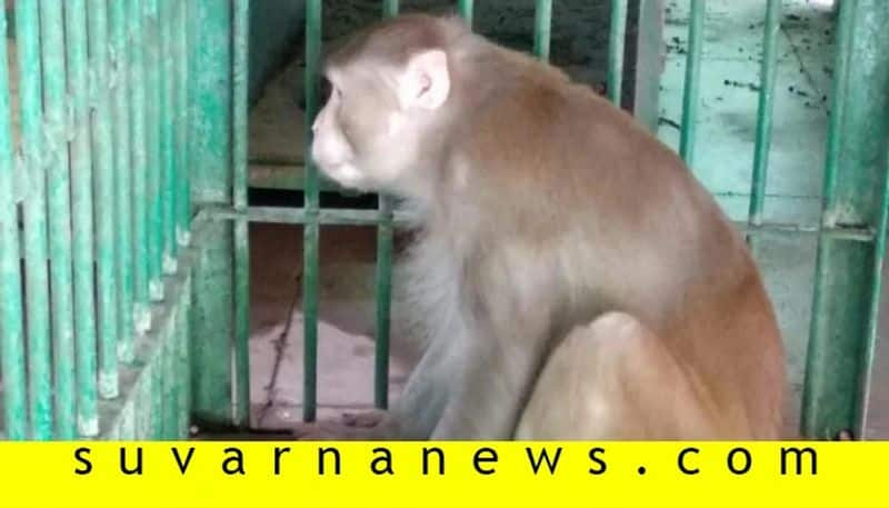 Alcoholic Monkey Who Bit 250 People Now Sentenced To Life Imprisonment In Kanpur Zoo