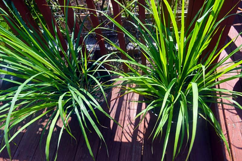 how to grow Lemongrass Plant  as indoor plant