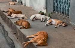 <p>A female dog raped by a 40-year-old man in Maharashtra's Thane</p>
