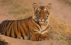 <p>Corbett Reserve has highest number of tigers in country; three other reserves have none: Report</p>