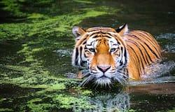 <p>World Tiger Day</p>