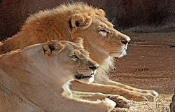 <p><strong>lions</strong></p>